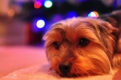 Waiting For Christmas (AreKev) Tags: jazz girl yorkshireterrier yorkshire terrier dog yorkie pet christmas xmas tree lights bokeh d90 35mmf18g nikon nikond90