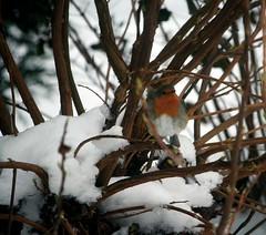 Yayyy, I got me a robin too! (eMMa_bOOm) Tags: orange snow holland colour bird nature netherlands dutch robin colours natural beak feathers tiny ameland coloured robinhood brenches fryslân fluffly tinybird inzievar thedailypost inzievarsexploredrobins takenthroughdirtywindow robinwantstobeexplored