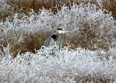 Keeping a watchful eye !! (Utah Mountain Mike) Tags: white cold ice eyes frost beak feathers bushes greatblueheron birdrefuge bigbirds farmingtonbay sigmalens twotom192004 kentaxk20d