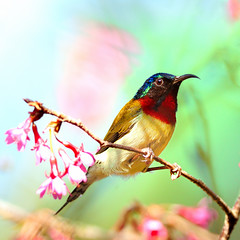 4545666 (Ben To) Tags: pink bird animal botanicgarden songbird sunbird 山櫻花 taiwancherry forktailedsunbird aethopygachristinae 叉尾太陽鳥 seenonflickr 寒緋櫻 鐘花櫻桃 台灣櫻 cerasuscampanulata