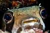 Your Eyes (Lea's UW Photography) Tags: underwater maldives fins porcupinefish malediven canonefs60mm fishportrait maskenigelfisch unterwasserfoto leamoser