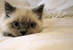 Himalayan kitten (Mackenzie Jane) Tags: cat kitten nap sleep tired himalayan kittenmagazine bestofcats