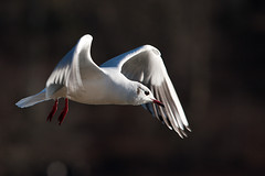 Black Headed Gull (ShootinJack) Tags: black bird gull headed