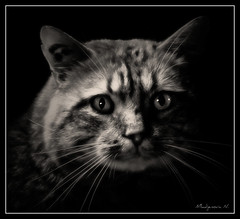763 Eyes (Nebojsa Mladjenovic) Tags: light portrait pet cats france monochrome animal animals sepia fauna digital cat lumix eyes kat feline chat panasonic domestic gato katze portret gatto onblack fz50 svetlost macka topseven animauxdecompagnie theunforgettablepictures artofimages mladjenovic bestcapturesaoi elitegalleryaoi mygearandmepremium mygearandmebronze mygearandmesilver mygearandmegold mygearandmeplatinum