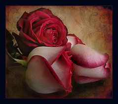 ...passion... (Martha MGR) Tags: nature rose rouge flor rosa vernissage rosso 1000views flres mmgr theunforgettablepictures mipasin marthamgr reservaespecial bestcapturesaoi magicunicornverybest 4msphotographicdream 3msroyalflowers 2msroyalstation marthamariagrabnerraymundo marthamgraymundo