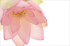 Lotus Flower - IMG_9000 -  , , ,  , Fleur de Lotus, Lotosblume, ,  (Bahman Farzad) Tags: flower macro yoga peace lotus relaxing peaceful meditation therapy  lotusflower lotusflowers lotuspetal  masterphotos lotuspetals  lotosblume fleurdelotus    lotusflowerpetals lotusflowerpetal