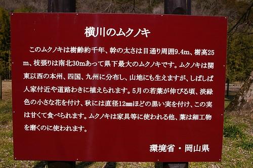 横川のムクノキ #2