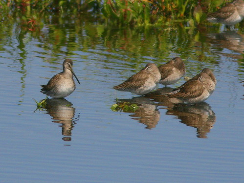 Short-billed Dowitchers 20100215