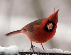 Cardinal (David Walenga) Tags: red bird michigan maryland daw cardinals songbirds backyardbirds virtualjourney walenga