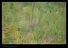 Tiger in the Bushes.. (Jnarin) Tags: stripes tiger conservation endangered bengaltiger madhyapradesh kanha centralindia kanhanationalpark canoneos1dmarkiii pantheratigristigris royalbengaltiger canonef100400mmf4556lusmis pantheratigrisbengalensis nationalanimalofindia tigerconservation niranjvaidyanathan
