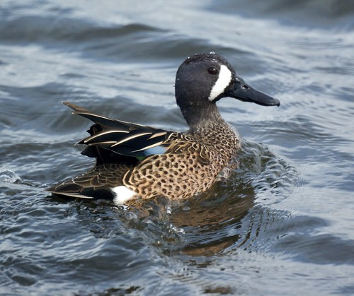 Blue-winged teal: Bolsa Chica Wetlands