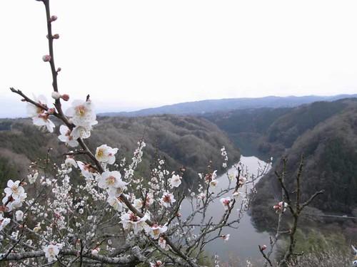 川沿いに梅並木!奈良三大梅林『月ヶ瀬梅林』@奈良市