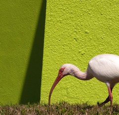 lunch in the chartreuse shade (weltreisender2000) Tags: shadow white bird wall florida geometry chartreuse ibis sarasota stucco bayfront