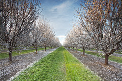 Forever Almond Orchard: Central Valley, California (Ivan Sohrakoff) Tags: california sunset sky flower field grass clouds rural woodland landscape spring farm farming almond orchard farmland soil dirt bloom sacramento davis grasslands zamora yolocounty nuttree almondtree dunnigan californialandscape yolo landscapephotography dunniganhills californiaphotography californiascentralvalley californiafarmland ivansohrakoff