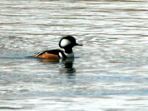 Hooded Merganser 20100316