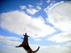 Jump! (laurw) Tags: dog jump jumping perro germanshepard pastoraleman