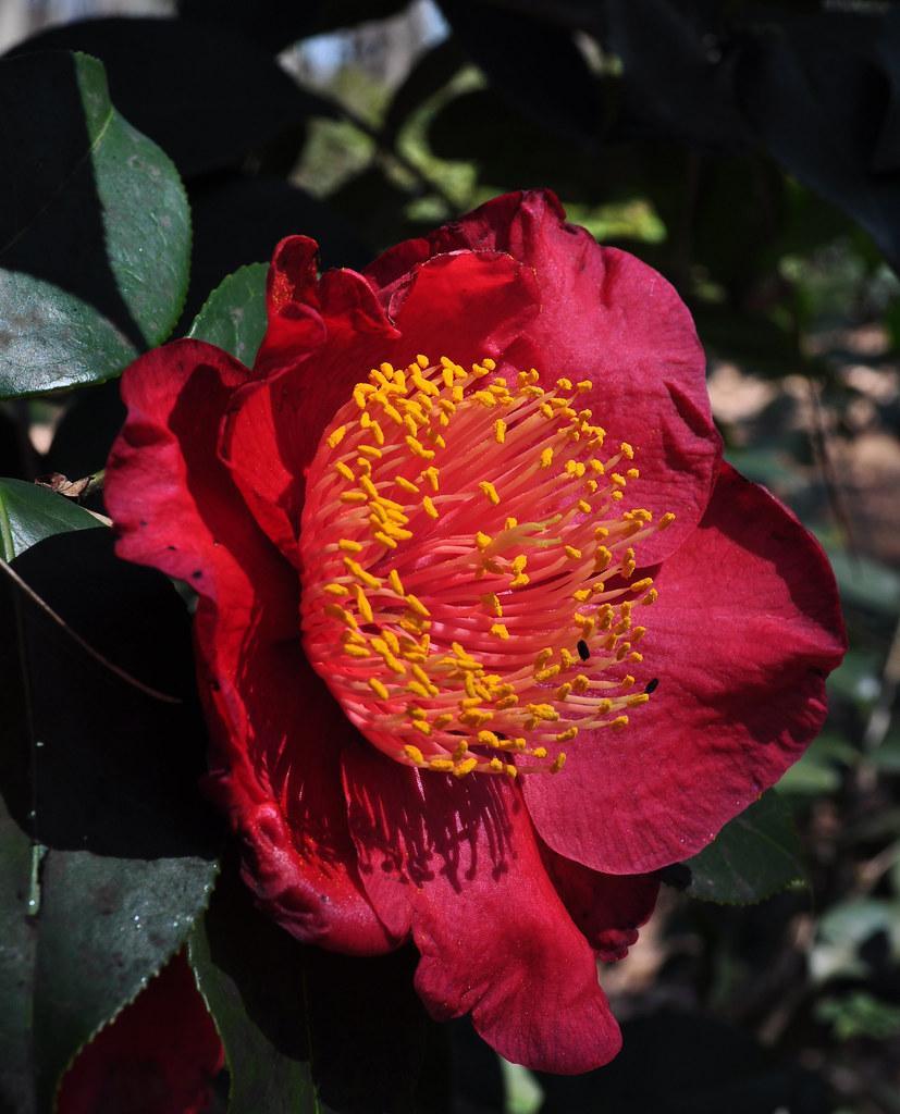 Camellia japonica 'Happy Higo' 3