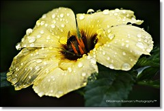 Trapped in wet! ( Rizalman Kasman Photography) Tags: flower nature wet rain yellow fly flora wildlife 1001nights raindrop 1001nightsmagiccity