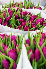 (ion-bogdan dumitrescu) Tags: flowers purple tulips many romania bucharest lots bitzi img3661 ibdp ibdpro wwwibdpro ionbogdandumitrescuphotography