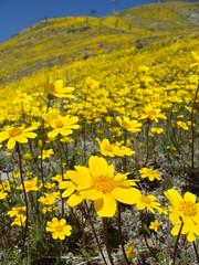 Wildflowers (anarchosyn) Tags: california mustard wildflowers gorman