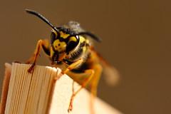 Reading time (Kaoscube) Tags: macro insect book vespa dof wasp bokeh libro distillery insetto insecto avispa otw nikkorafsvrmicro105mmf28gifed kaoscube