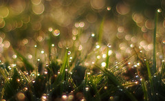 Morning Glory (Roamer 57) Tags: green nature water grass backlight gold droplets drops nikon bokeh 18 theworldwelivein tmba mywinners theunforgettablepictures vanagram saariysqualitypictures artistictreasurechest magicunicorntheverybest
