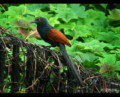 Chemboth | Uppan (RC Sreejith | ) Tags: bird kerala greenery commonbird chemboth uppan sreejithrc rcsreejith
