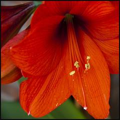 Happy week - Feliz semana (Pilar Azaa Taln ) Tags: hippeastrum amarilis mywinners abigfave thesuperbmasterpiece 100commentgroup pilarazaa