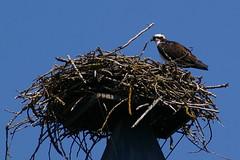 Nest+Osprey