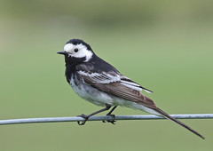 Pied Wagtail (lintonthelion) Tags: bird perthshire pied wagtail thewonderfulworldofbirds