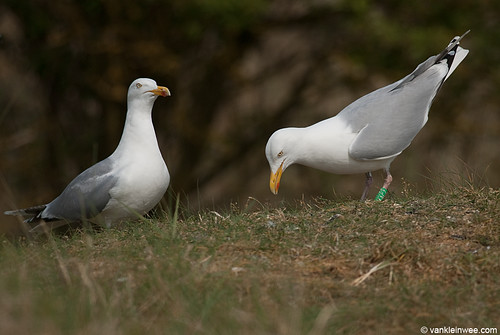 "European Herring Gull, >6cy, G[M.ACZ] with G[F.AFN], displaying ""choking"" behavior"