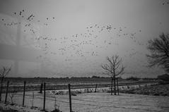 _DSF7244 (Billie's Vision) Tags: salinger catcherintherye geese oudermeedimmerklif friesland tklif snow ice winter migration