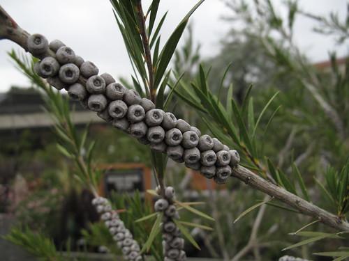 callistemon seed pods