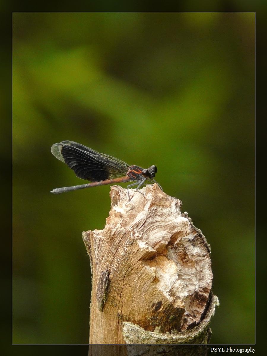 Formosan Gossamerwing (Euphaea formosa) - 短腹幽蟌