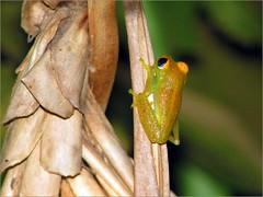 Boophis viridis (Linda DV) Tags: geotagged canon madagascar mandraka madagascarexotic réservedepeyrieras frog boophisviridis mantellidae lindadevolder powershots5is 2009 africa amphibia