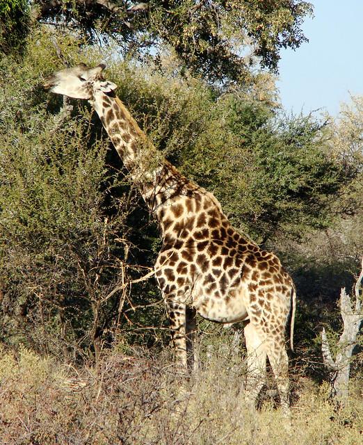 DSC08359 Giraffe