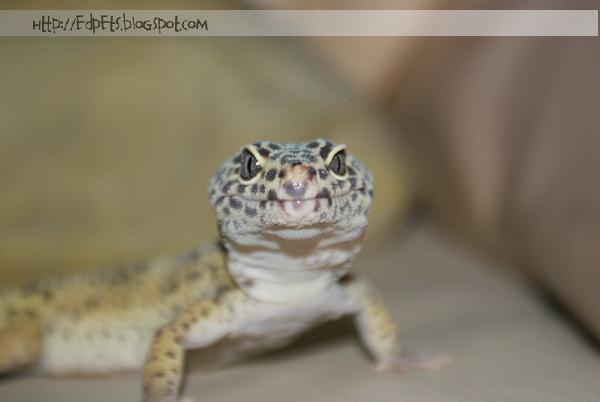 04_Leopard gecko 2009