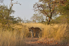 ADS_000006779 (dickysingh) Tags: wild india cat landscape outdoor wildlife tiger bigcat aditya habitat ranthambore singh ranthambhore dicky adityasingh ranthamborebagh theranthambhorebagh wwwranthambhorecom