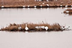 Snow Geese (melmark44) Tags: snowgeese forsythenwr