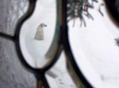 Snow Dog (brian-caldwell.artistwebsites.com) Tags: dog pets english canon rebel setter xsi 450d canon450d rebelxsi