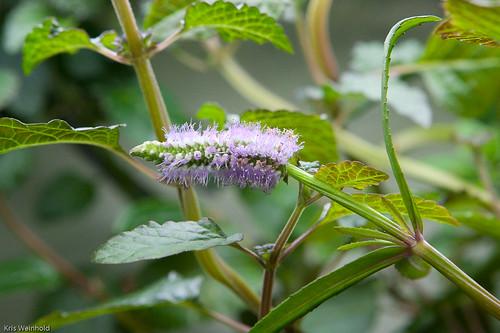 Pogostemon stellatus var. 'Broad Leaf' Flower