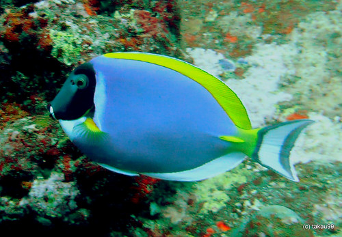 Powderblue surgeonfish, Similan Islands Thailand