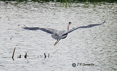 Heron in Flight  |    Hron  en Vol  |   Saint-Paul-de-l'le-aux-Noix  |  Quebec  | Canada (J.P. Gosselin) Tags: wood en canada bird heron rebel yahoo flickr quebec flight vert qubec swamp vol campagne marais oiseau bois hron hivemind heroninflight recordflooding t2i geo:country=canada flickriver canoneos7d stpauldelleauxnoix fiveprime canoneosrebelt2i rebelt2i saintpauldelleauxnoix hronenvol wellor4884 geo:region=quebec ph:camera=canon