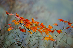 (ddsnet) Tags: plant sony taiwan autumnleaves   taoyuan autumnal 900      leaves reservoir mywinners autumn anawesomeshot autumn reservoir leaves 900 shihmanreservoir shihman shihman