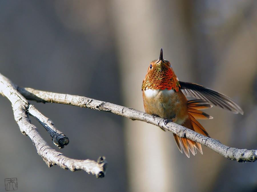 Allen's Hummingbird 02101-6