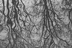 Neckarinsel reflections (til213) Tags: winter tree river wald baum neckar reflektion tbingen platane flus neckarinsel platanenallee