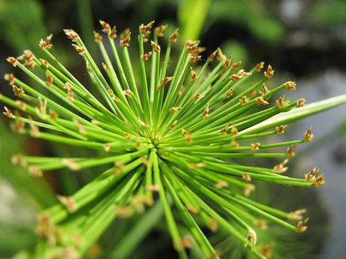 Papyrus Plant