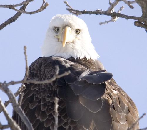bald eagle_6