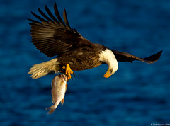 Adult Bald Eagle checking on his catch. (Todd Ryburn) Tags: fish birds animals canon lens flickr eagle mark wildlife uploaded baldeagle iowa raptor mississippiriver l catch dslr iv eagles raptors eos1d 2010 bif baldeagles llens flyhing adultbaldeagle supertelephotolens canon1dmarkiv lockdam14 800mmlens canoneos1dmarkiv canon800mmf56isllens