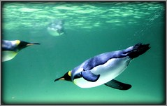 Underwater flight (W J (Bill) Harrison) Tags: water penguin wings colours underwater picnik kingpenguin canoneos50d canon50d thebestofcengizsqueezeme2groupsb physis wjbillharrison underwaterflight